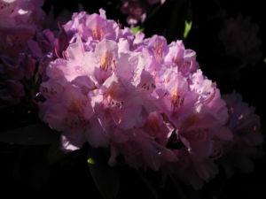 Bild: Rhododendron Bluete pink Rhododendron