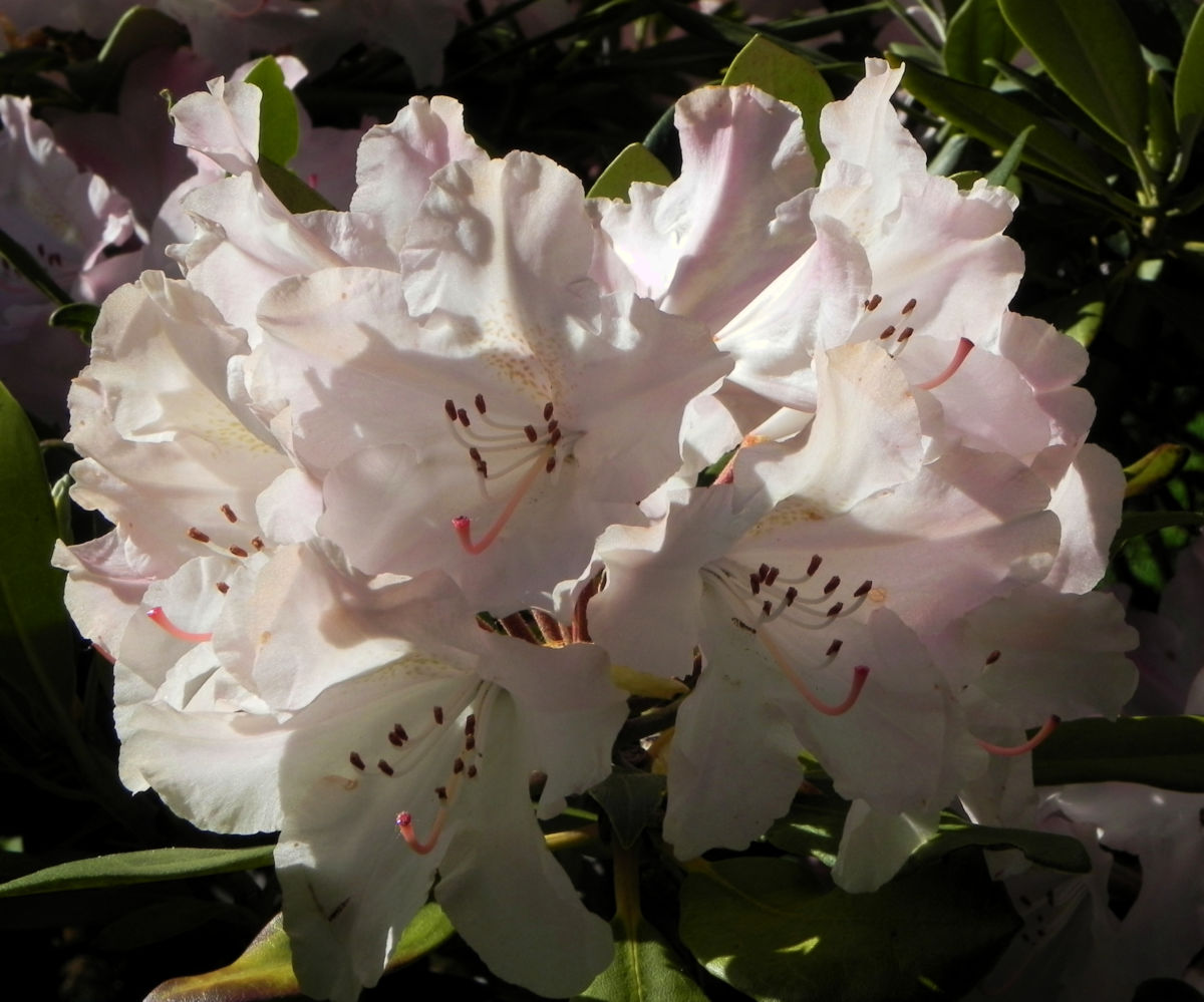 Rhododendron Bluete weiss rosa Rhododendron