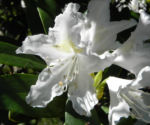 Bild: Rhododendron Blüte weiß Rhododendron hybride