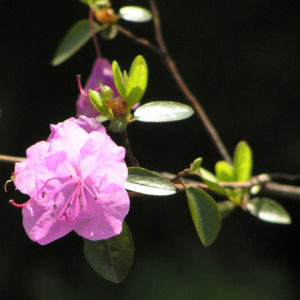 Rhododendron Strauch immergruen Bluete pink Rhododendron sichotense 01