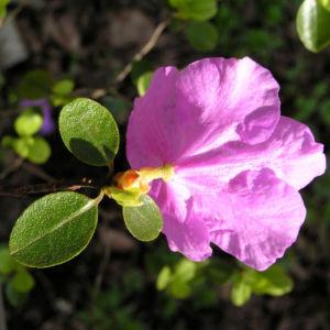 Rhododendron Strauch immergruen Bluete pink Rhododendron sichotense 06