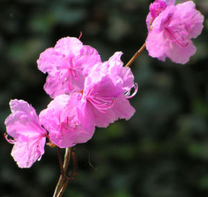 Rhododendron Strauch immergruen Bluete pink Rhododendron sichotense 08
