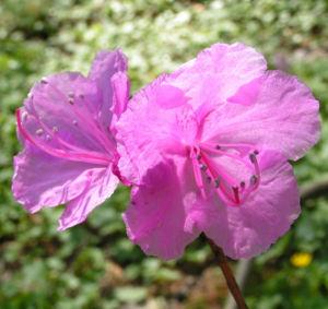 Rhododendron Strauch immergruen Bluete pink Rhododendron sichotense 09