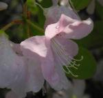 Rhododendron Wildart Blute rosa Rhododendron schlippenbachii 03