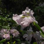Rhododendron Wildart Blute rosa Rhododendron schlippenbachii 10