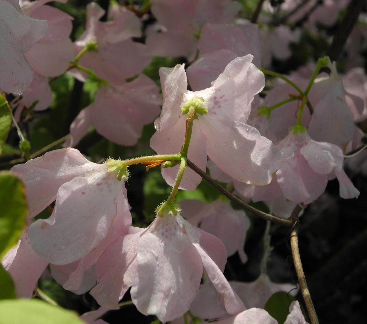 Rhododendron Wildart Blute rosa Rhododendron schlippenbachii
