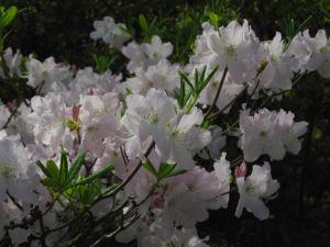 Rhododendron Wildart Blute rosa Rhododendron schlippenbachii 13