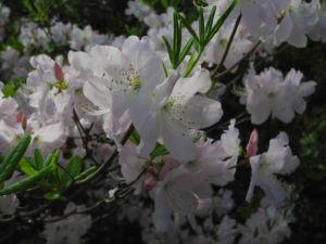 Rhododendron Wildart Blute rosa Rhododendron schlippenbachii 14