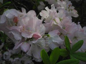 Rhododendron Wildart Blute rosa Rhododendron schlippenbachii 15