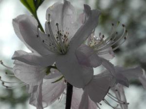 Rhododendron Wildart Blute rosa Rhododendron schlippenbachii 20