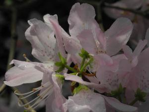 Rhododendron Wildart Blute rosa Rhododendron schlippenbachii 21