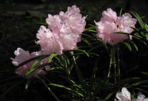 Rhododendron Wildart Blute rosa Rhododendron schlippenbachii 23