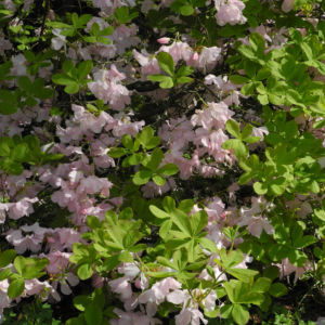 Rhododendron Wildart Blute rosa Rhododendron schlippenbachii 25