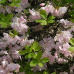 Bild:  Wildart Blüte rosa Rhododendron schlippenbachii