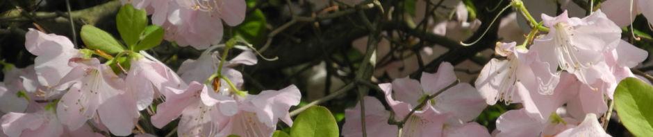 Anklicken um das ganze Bild zu sehen Wildart Blüte rosa Rhododendron schlippenbachii