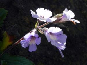 Rhodopen Haberlea Bluete weiss lila Haberlea rhodopensis 01