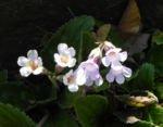 Rhodopen Haberlea Bluete weiss lila Haberlea rhodopensis 02