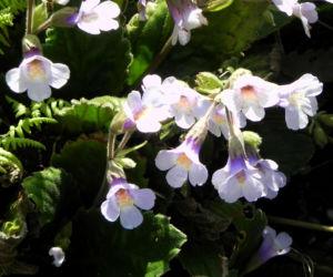 Rhodopen Haberlea Bluete weiss lila Haberlea rhodopensis 03