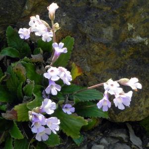 Rhodopen Haberlea Bluete weiss lila Haberlea rhodopensis 04