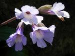 Rhodopen Haberlea Bluete weiss lila Haberlea rhodopensis 06