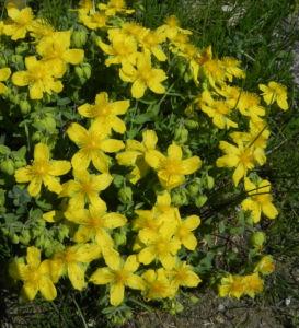 Rhodopen Johanniskraut Bluete gelb Hypericum cerastoides 01
