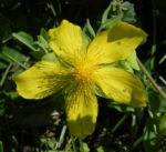 Rhodopen Johanniskraut Bluete gelb Hypericum cerastoides 02