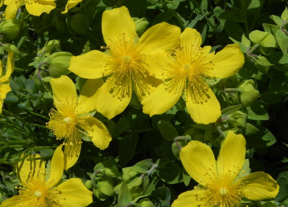 Rhodopen Johanniskraut Bluete gelb Hypericum cerastoides