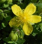 Rhodopen Johanniskraut Bluete gelb Hypericum cerastoides 05