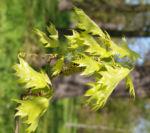 Richter Eiche Baum Blattaustrieb Bluete hellgruen Quercus x richteri 01