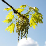 Bild: Richter-Eiche Baum Blattaustrieb Blüte hellgrün Quercus x richteri