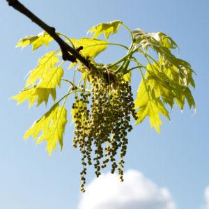 Bild: Richter Eiche Baum Blattaustrieb Bluete hellgruen Quercus x richteri
