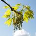 Zurück zum kompletten Bilderset Richter-Eiche Baum Blattaustrieb Blüte hellgrün Quercus x richteri