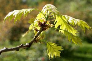 Richter Eiche Baum Blattaustrieb Bluete hellgruen Quercus x richteri 06