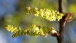 Richter Eiche Baum Blattaustrieb Bluete hellgruen Quercus x richteri 07