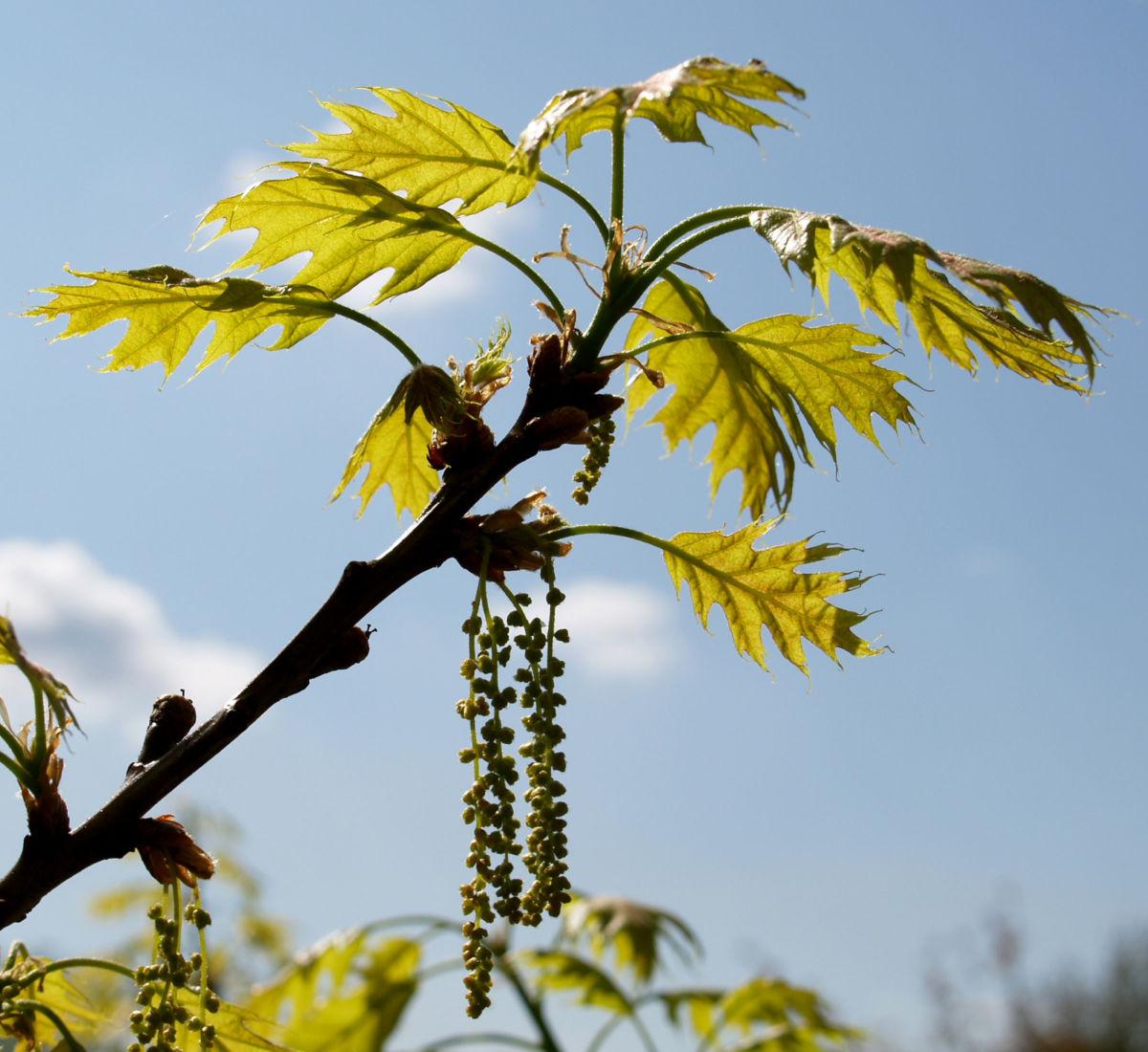 Richter Eiche Baum Blattaustrieb Bluete hellgruen Quercus x richteri