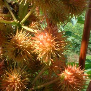 Ricinus Ricinus communis 05