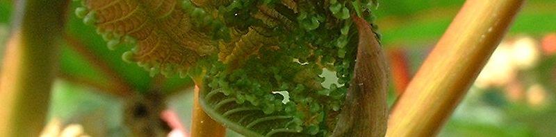 Anklicken um das ganze Bild zu sehen  Ricinus blatt Frucht rot Ricinus communis