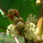 Ricinus Ricinus communis 10