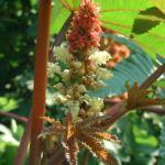 Ricinus Ricinus communis 17