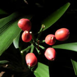 Riemenblatt Klivie Frucht rot Blatt gruen Clivia miniata 03