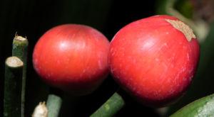 Riemenblatt Klivie Frucht rot Blatt grün Clivia miniata