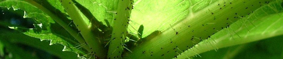 riesen-baerenklau-blatt-gruen-heracleum-mantegazzianum