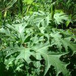 Riesen Baerenklau Blatt gruen Heracleum mantegazzianum 03