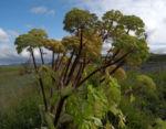 Riesen Baerenklau Frucht gelb gruen Heracleum mantegazzianum 01