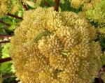 Riesen Baerenklau Frucht gelb gruen Heracleum mantegazzianum 03