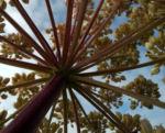 Riesen Baerenklau Frucht gelb gruen Heracleum mantegazzianum 10