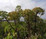 Riesen Baerenklau Frucht gelb gruen Heracleum mantegazzianum 11