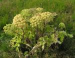 Bild: Riesen-Bärenklau Frucht gelb grün Heracleum mantegazzianum