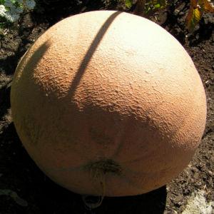 Riesen Kurbis Frucht braun Cucurbita maxima 04