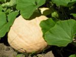 Riesen Kurbis Frucht braun Cucurbita maxima 08